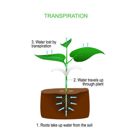 Transpiration is the process of water movement through a plant and evaporation from aerial parts (leaves, stems and flowers). Roots take up water from the soil, water travels up through plant, and lost by transpiration