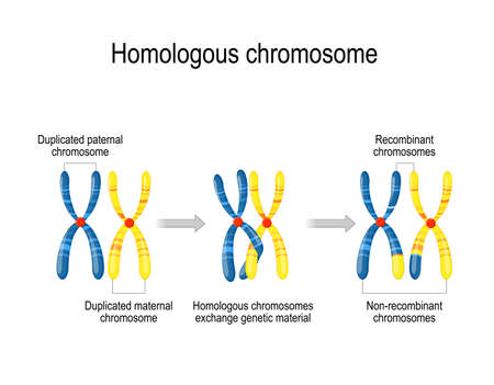 maternal & paternal homologous chromosomes exchange genetic material. pachytene phase of meiosis inside a cell. Vector diagram for educational, medical, biological, and scientific use