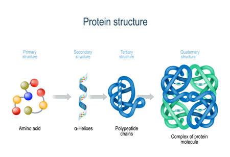 Ebenen der Proteinstruktur von Aminosäuren bis zum Komplex des Proteinmoleküls. Protein ist ein Polymer (Polypeptid), das aus Aminosäuresequenzen gebildet wird. Ebenen der Proteinstruktur: Primär, Sekundär, Tertiär und Quartär