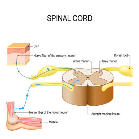 Spinal cord. Reflex arc (neural pathway). Vector illustration for biological, medical, education and science use Illustration
