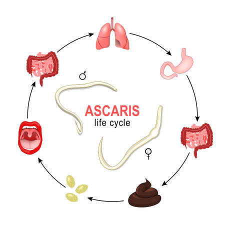 Ascaris. life cycle. Vector illustration of the most common human nematode infection. Worms grow and reproduction in human body, and production of eggs or larvae which are passed out via the faeces to the environment Иллюстрация