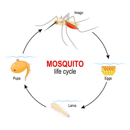 mosquito life cycle. four stages: Egg, Larva, Pupa and adult insect. Vector diagram for  educational, science, biological and medical use