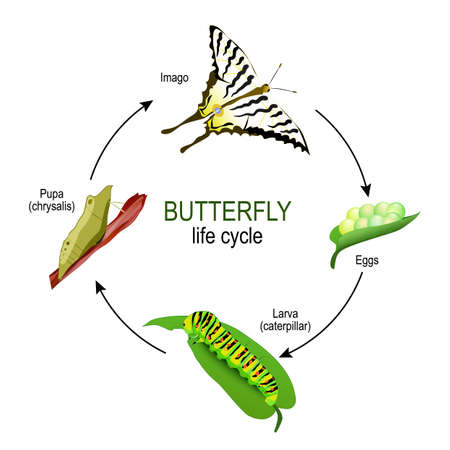 butterfly life cycle from eggs and Larva (caterpillar) to Pupa (chrysalis) and Imago. Vector diagram for educational, science, and biological use Ilustração