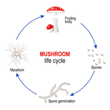 mushroom life cycle from Spores to Mycelium and Fungi (fruiting body). Amanita muscaria. Vector diagram for educational, science, and biological use