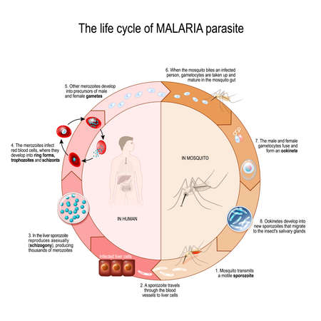 The life cycle of MALARIA parasite. Vector diagram for educational, science, and biological use