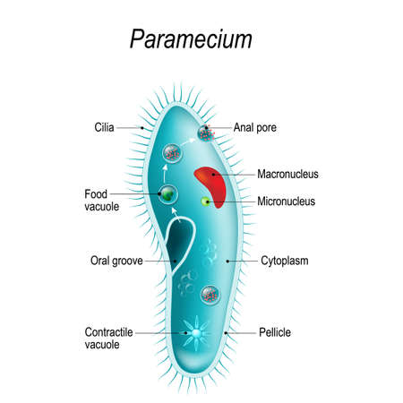 Anatomy of Paramecium caudatum. Vector diagram for educational, science, and biological use Çizim