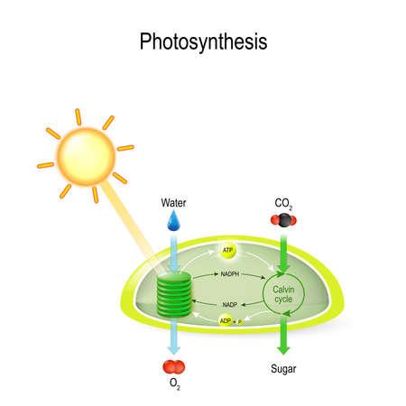Photosynthese in einem Chloroplasten. Der Calvin-Zyklus macht aus Kohlendioxid Zucker. Bei der Photosynthese absorbiert die Pflanze Wasser, Licht von der Sonne und Kohlendioxid aus der Atmosphäre und wandelt es in Zucker und Sauerstoff um.