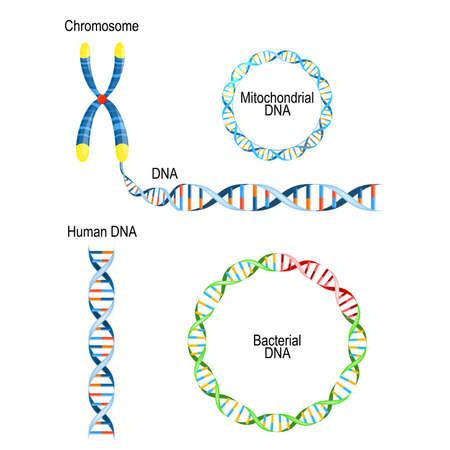 Menschliche DNA - Doppelhelix, zirkuläres Prokaryoten-Chromosom (bakterielle DNA) und mitochondriale DNA. Arten von Desoxyribonukleinsäure Vektorgrafik