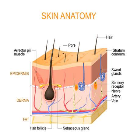 Anatomie der Haut. Schichten: Epidermis (mit Haarfollikel, Schweiß- und Talgdrüsen), Derma und Fett (Hypodermis). Vektordiagramm für pädagogische, medizinische, biologische und wissenschaftliche Zwecke