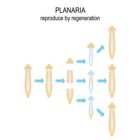 Planaria. reproducir por regeneración. Cuando Planaria se corta en varios trozos, cada trozo del cuerpo se convierte en un nuevo organismo. Diagrama vectorial para uso educativo, médico, biológico y científico.