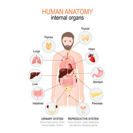 Anatomy of human body. internal organs of male. vector diagram for medical, educational and scientific use