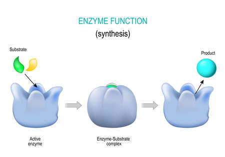 Enzyme. lock and key model. synthesis. metabolic processes. enzyme-substrate complex, substrate, product and active site. vector diagram for medical, educational and scientific use