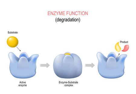 Schloss- und Schlüsselmodell. Degradierung. metabolische Prozesse. Enzym-Substrat-Komplex, Substrat, Produkt und aktives Zentrum. Vektordiagramm für medizinische, pädagogische und wissenschaftliche Zwecke