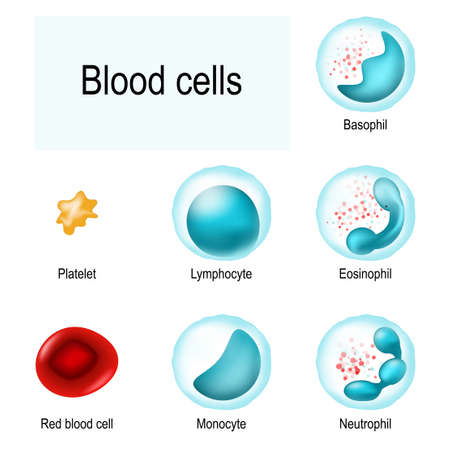Blood cells. Red blood cells (erythrocytes), White blood cells (lymphocyte, eosinophil, neutrophil, basophil, monocyte), and Platelets (thrombocytes). Vector illustration.