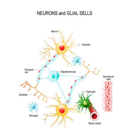 Neurons and glial cells (Neuroglia) in brain (oligodendrocyte, microglia, astrocytes and Schwann cells), ependymal cells (ependymocytes). Vector diagram for educational, medical, biological and science use
