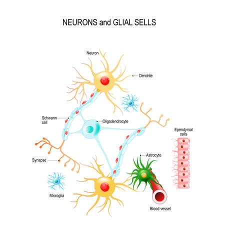 Neurons and glial cells (Neuroglia) in brain (oligodendrocyte, microglia, astrocytes and Schwann cells), ependymal cells (ependymocytes). Vector diagram for educational, medical, biological and science use