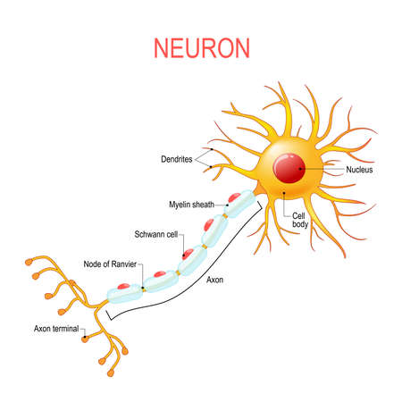 Neuron anatomy. Structure of a nerve cell. Vector diagram for educational, medical, biological and science use Иллюстрация
