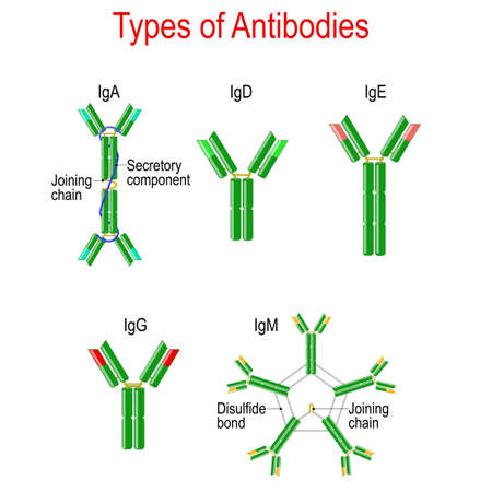 Types of Antibodies. immunoglobulin structure. Antibodies are glycoproteins that bind specific antigens. Vector diagram for educational, medical, biological and science use