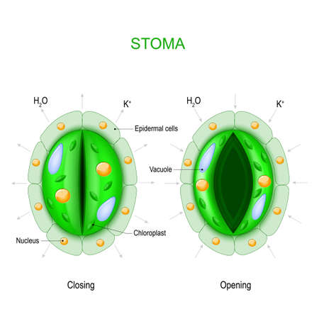 Stoma (open and closed). Structure of stomatal complex. Vector diagram for educational, biological and science use Illustration