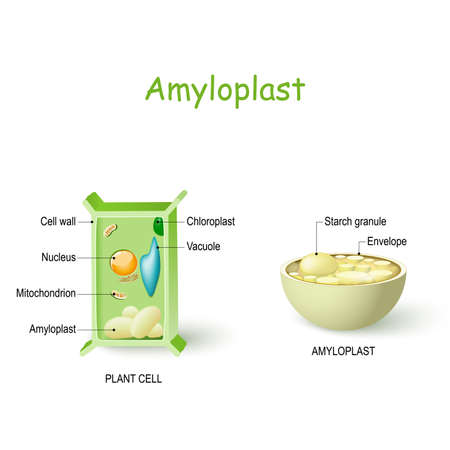 Amyloplast is a type of plastid in plant cells that  store and synthesize starch from glucose. Plant cell anatomy and cross-section of Amyloplast. Vector diagram for educational, biological and science use Banque d'images - 129344359