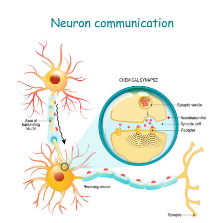 Neural communication. Transmission of the nerve signal between two neurons with axon and synapse. Close-up of a chemical synapse. vector diagram for education, medical, science use Vettoriali