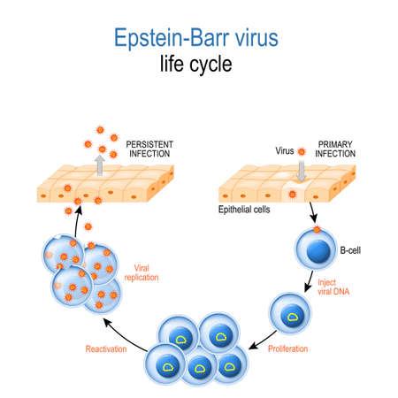 Epstein Barr Virus. Lebenszyklus. EBV-Replikation: Eintritt in die Zelle, Latenz und Reaktivierung. humanes Herpesvirus, das Krebs verursacht, und infektiöse Mononukleose.