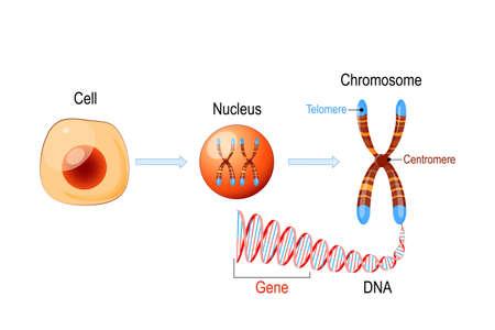 Estructura celular. Núcleo con cromosomas, molécula de ADN (doble hélice), telómero y gen (longitud del ADN que codifica una proteína específica). Investigación del genoma