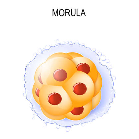 morula is an embryo consisting of 16 cells in a solid ball contained within the zona pellucida. stages of segmentation of a fertilized ovum. Human embryonic development. Vector illustration for your design, educational,  biology, scientific, and medical use.