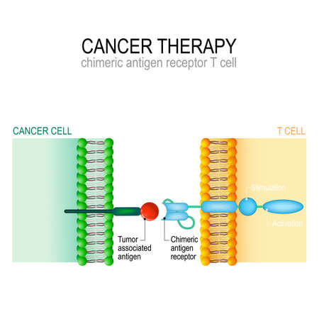 Cancer therapy. CAR T immunotherapy. Artificial T-cell receptors are proteins that have been engineered for cancer therapy (killing of tumor cells). genetically engineered. Vector diagram for medical and science use