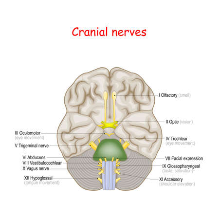 Cranial nerves. human brain and brainstem from below. many nerves exit the skull. numbered from olfactory to hypoglossal after the order in which they emerge. Vector illustration  Иллюстрация