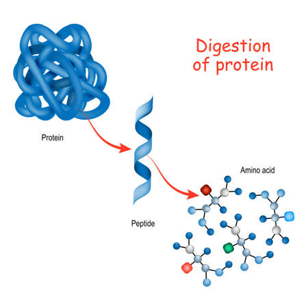 Digestion of protein. Enzymes (proteases and peptidases) are digestion breaks the protein into smaller peptide chains and into single amino acids, which are absorbed into the blood. Imagens - 131702286