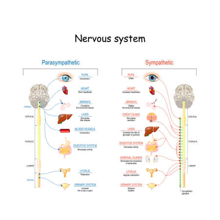 Sympathetic And Parasympathetic Nervous System. Difference. diagram with connected inner organs and brain and spinal cord. Educational guide of human anatomy.  vector illustration for medical and scie