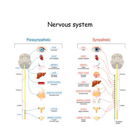 Sympathisches und parasympathisches Nervensystem. Unterschied. Diagramm mit verbundenen inneren Organen und Gehirn und Rückenmark. Lehrbuch der menschlichen Anatomie. Vektorillustration für medizinische und wissenschaftliche Zwecke Vektorgrafik