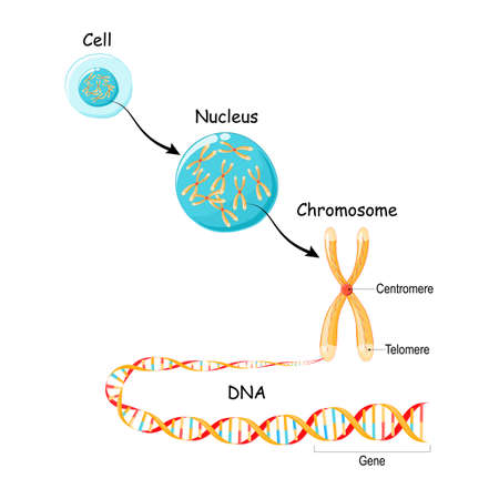 From Gene to DNA and Chromosome in cell structure. genome sequence. Telomere in DNA located at the ends of chromosomes Illustration