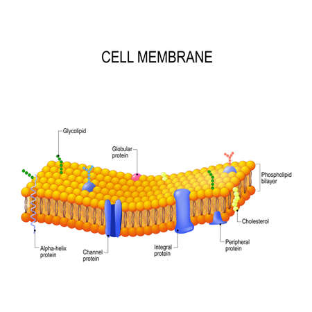 Cell membrane proteins. Phospholipid bilayers structure of cytoplasmic membrane