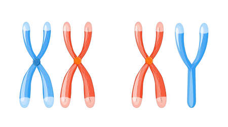 X and Y chromosomes with dna on a white background. Chromosomal definition of female XX and male XY. Illustration for design, educational, biology, scientific, research, medical use. Vector easy editable for Your color Illustration