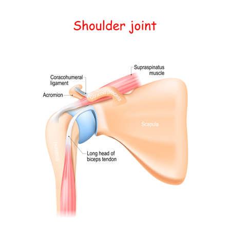 shoulder joint anatomy. Bones (Scapula, Humerus, Coracoid process, Acromion , Muscle (Biceps, Supraspinatus) and ligament (Coracohumeral)