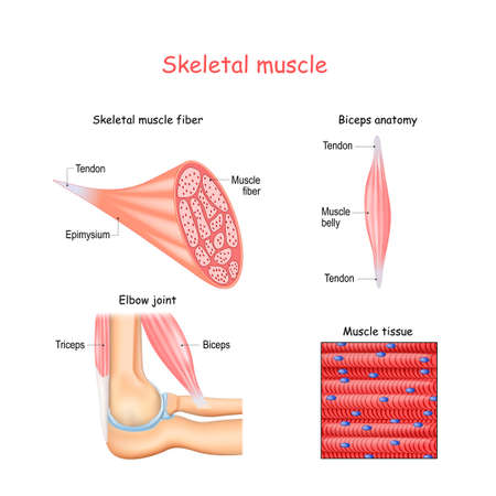 Structure of skeletal muscle fibers. Biceps and Triceps anatomy. Background of muscle tissue. Set of vectors illustrations for education, sports and medical use.