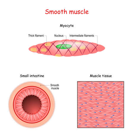 Structure of smooth muscle fibers. anatomy of Myocyte. Background of smooth muscle tissue. Set of vectors illustrations for education, sports and medical use.  イラスト・ベクター素材