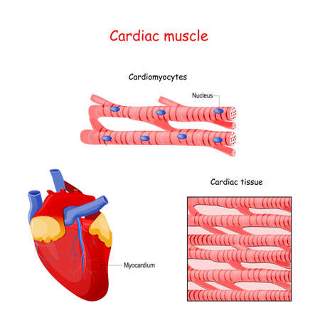 Structure of Cardiac muscle fibers. anatomy of cardiomyocyte. Background of heart muscle tissue. Set of vectors illustrations for education, sports and medical use.