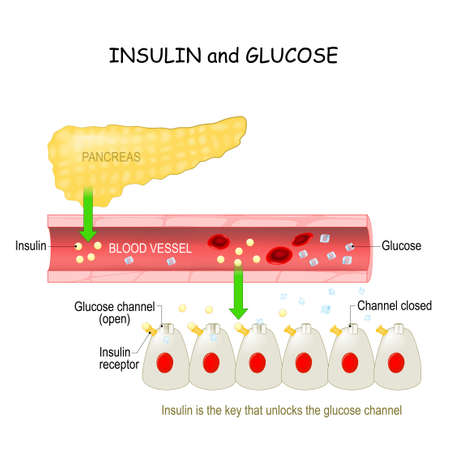 insulin and glucose in the blood vessel. Pancreas and cell with Glucose channel and Insulin receptor