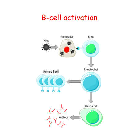 B cells Activation. B-cell lymphocytes (white blood cell) that function in the humoral immunity component of the adaptive immune system. leukocyte that secreting antibodies