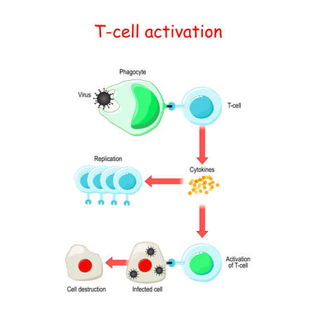 T cell Activation. T lymphocyte, is a white blood cell. cell-mediated immunity Illustration