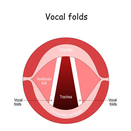 Vocal folds. The Human Voice. The vocal cords open to let air pass through the larynx, into the trachea
