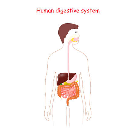 Human digestive system. Gastrointestinal tract. silhouette of a man with highlighted internal organs.  イラスト・ベクター素材