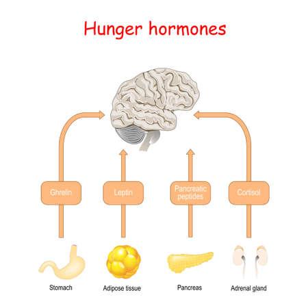 Hungerhormone und Appetit. Cortisol, Pankreaspeptide, Ghrelin und Leptin. Endokrine Drüsen: Nebenniere, Magen, Bauchspeicheldrüse und Fettgewebe. Vektorillustration für medizinische, pädagogische und wissenschaftliche Zwecke.