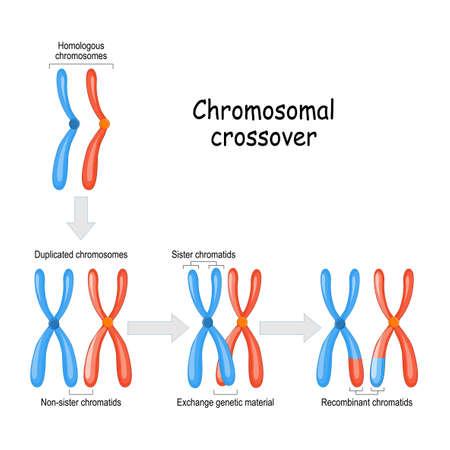 Chromosomaler Crossover. mütterliche & väterliche Homologe Chromosomen und Austausch von genetischem Material in der Meiose. Schwester- und rekombinante Chromatiden. Vektordiagramm für pädagogische, medizinische, biologische und wissenschaftliche Zwecke