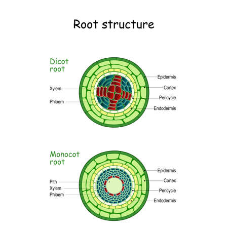 internal root structure. monocot and dicot stems. cross sections of plants roots. Vector diagram for educational, biological, and scientific use