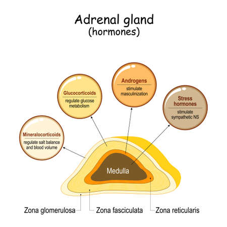 Hormones of the adrenal gland. Labeled scheme with all hormones types. Medical diagram with closeup gland cross section. Human endocrine system. vector illustration.