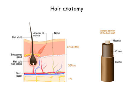 Hair anatomy. Cross section of the hair shaft. skin layers with hair follicle and Arrector pili muscle. Vector diagram. Detailed medical illustration